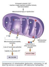 mitocondrDanno